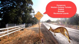 kangaroo crossing copy